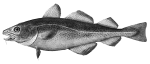 Picture of a Cod
